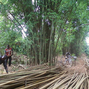 Bamboo Clumps